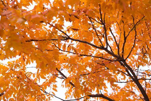 Photo free autumn maple, flowering plant, season