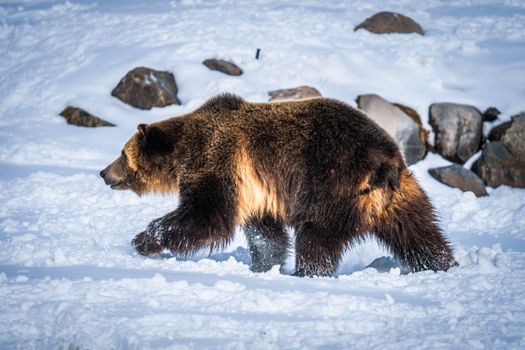 Photo free animals, grizzly bear, bears