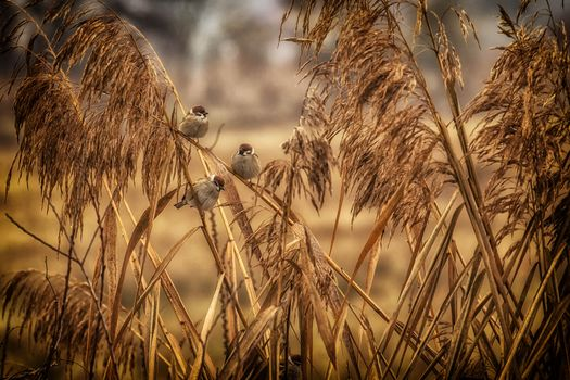 Фото бесплатно сухая трава, воробьи, птицы