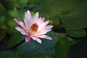 Photo free water lily, flower, beautiful flowers