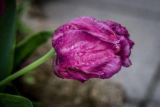 Фото бесплатно цветы, тюльпан, фиолетовый