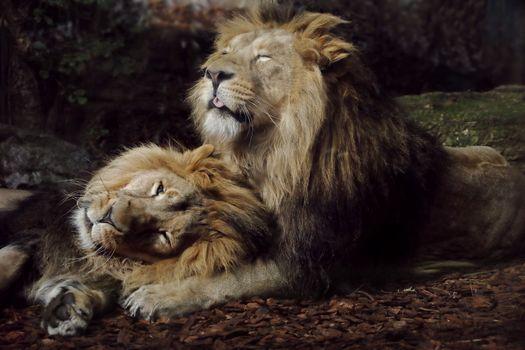 Фото бесплатно львы, спят, в обнимку