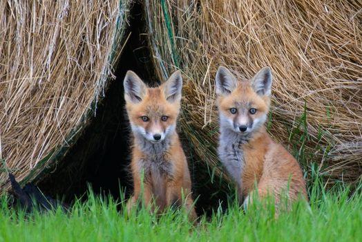Фото бесплатно Рыжая лиса, живая природа, лисята