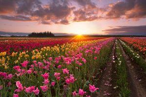 Бесплатные фото закат,поле,тюльпаны,цветы,небо,облака,пейзаж