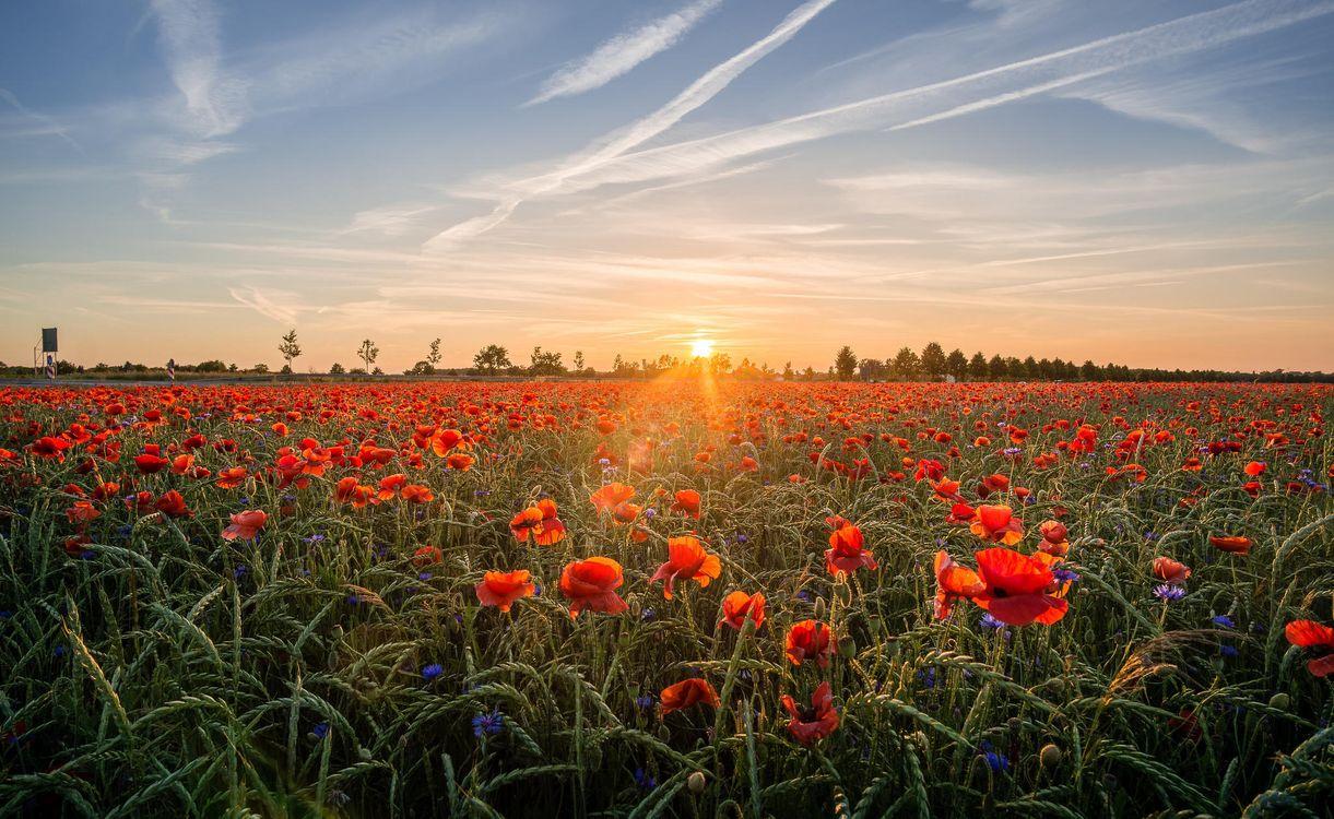 Фото бесплатно закат, поле, маки - на рабочий стол