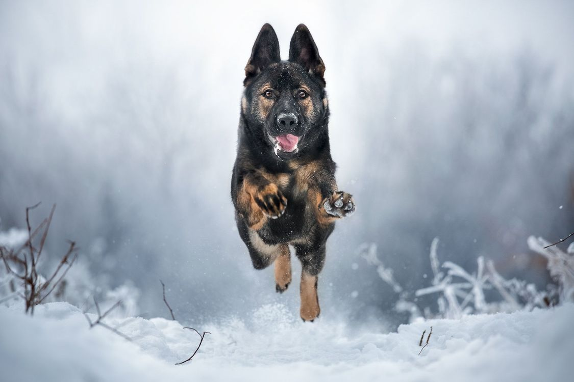 Фото бесплатно Немецкая овчарка, собака, домашнее животное, собаки