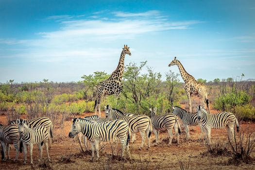 Африка,животные,парк,зебра,зебры