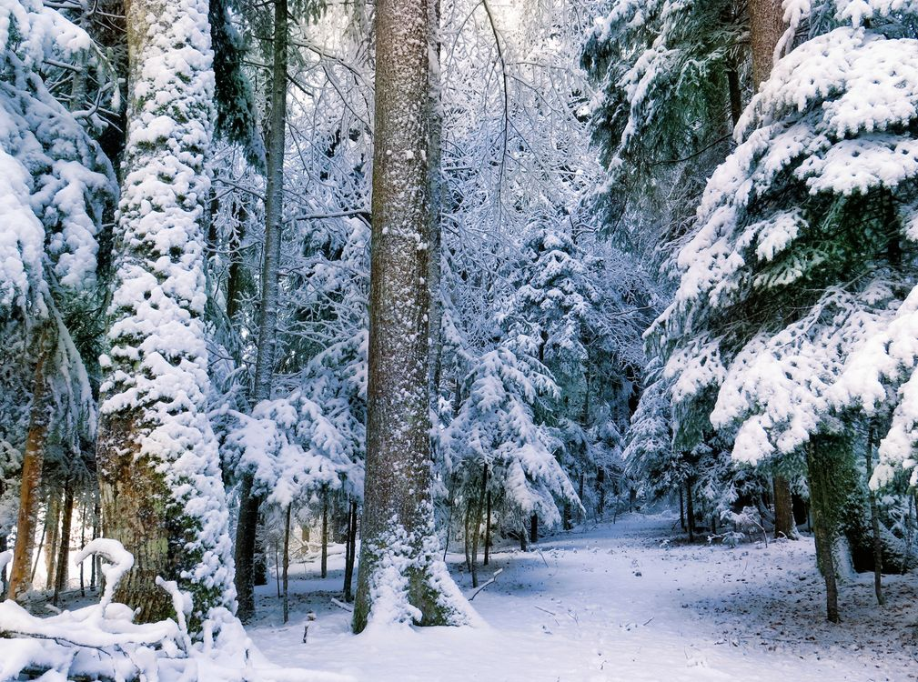 Фото бесплатно зима, лес, снег, деревья, природа, природа