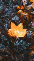 Бесплатные фото клен,листья,осень,сухие,влажные,maple,leaves
