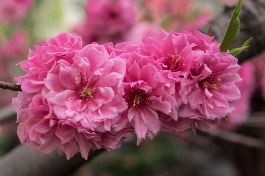 Photo free Cherry blossoms, flowering branch, flowers