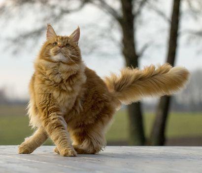 Фото бесплатно мейн-кун, кошка, величественная