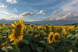 Бесплатные фото поле,цветы,подсолнухи,пейзаж,флора