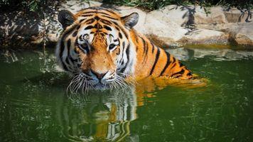 Заставки бенгальский тигр, большие кошки, вода