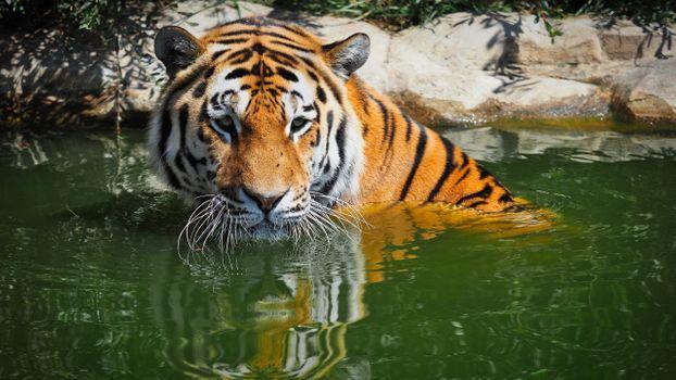 Фото бесплатно бенгальский тигр, большие кошки, вода