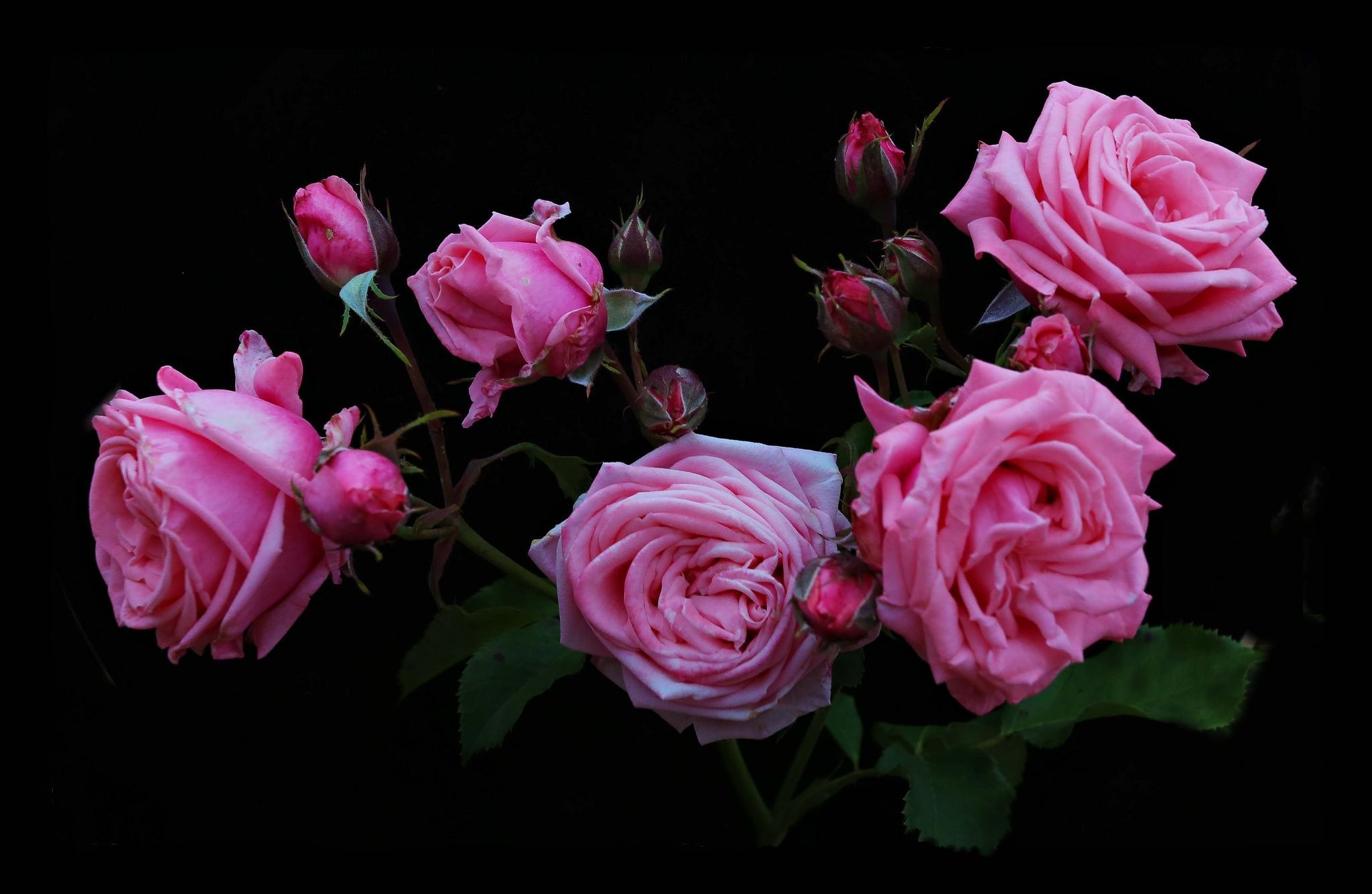 Картинки цветы обои на телефон розы