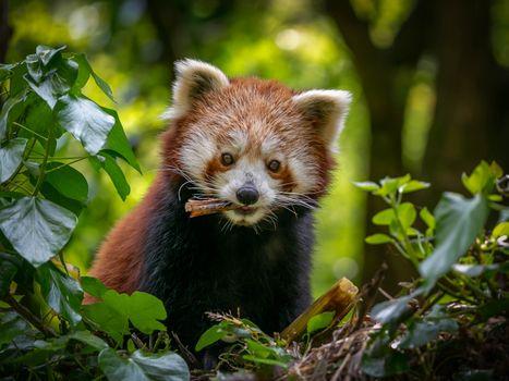 Заставки розовая панда, морда, животное