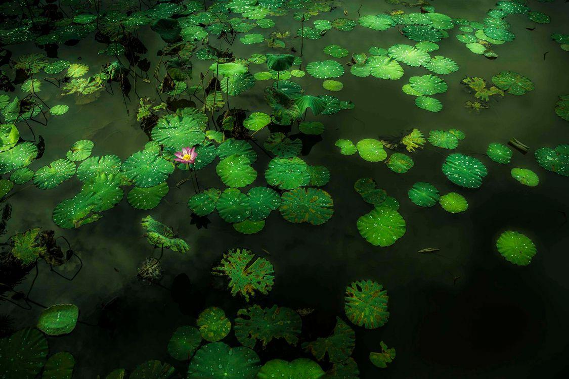 Фото бесплатно озеро, лотос, водоём, листья, цветок, лотосы, флора, природа, природа - скачать на рабочий стол