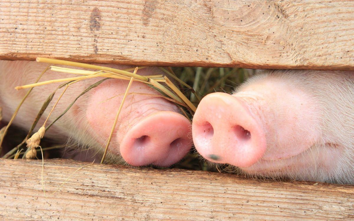 Фото бесплатно животные, детские животные, природа, свиньи, морды, забор, лес, розовый нос, животные