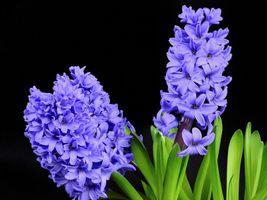 Бесплатные фото гиацинт,цветы,чёрный фон,флора