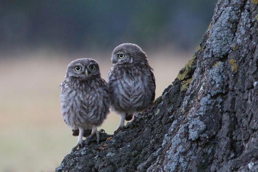 Фото бесплатно сова, дерево, два птенца
