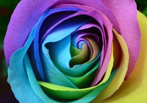 Photo free flowers, macro photography, rose order