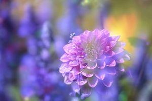 Фото бесплатно георгин, флора, оригинал