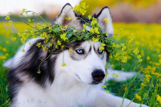 Заставки сибирский хаски, собака, поле цветов