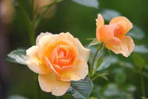 Фото бесплатно роза, порядок роз, цветущее растение