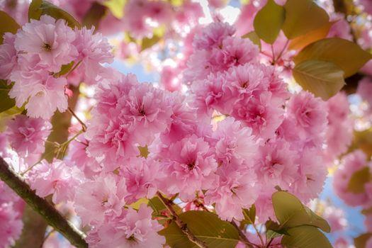 Photo free rose petals, flora, tree