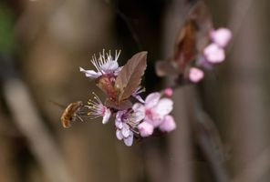 Бесплатные фото рейс,цветок,пчела,флора,весна,насекомое,цвести