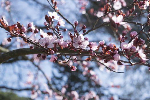 Photo free cherry, twigs, pink flowers