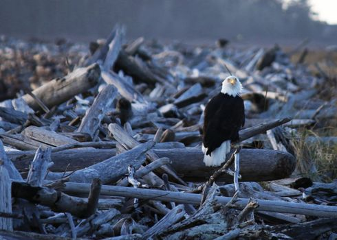 Фото бесплатно орел, дрова, стоя