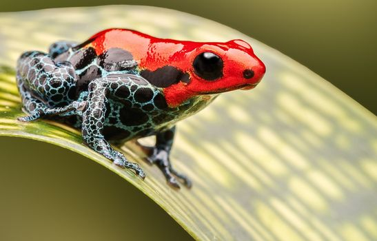 Photo free red, close, poison dart frog