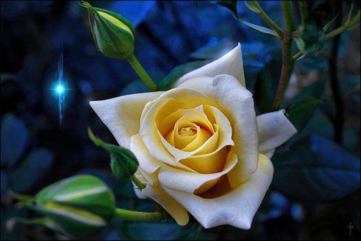 Обои на стол роза, цветок