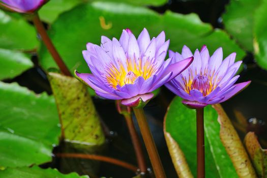 Photos online free flower, water lilies