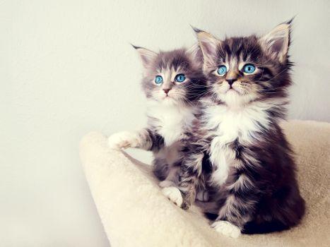 Заставки голубые глаза, котята, пушистик
