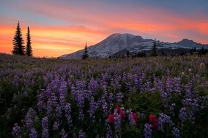 Бесплатные фото Mount Rainier National Park,Washington,Альпийский луг,закат,горы,цветы,пейзаж