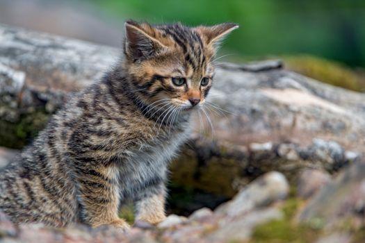 Photo free kitten, baby, Wildcat kitten