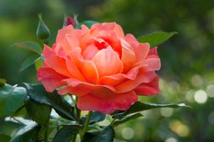 Photo free macro, rose, colorful