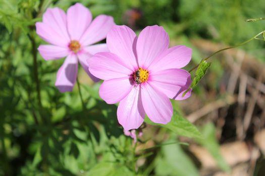 Фото бесплатно цветы, розовый цвет, растение космос