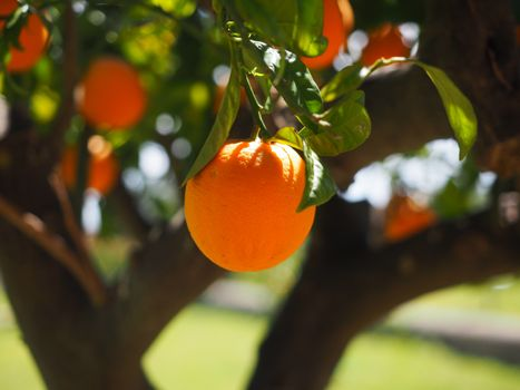 Photo free orange tree trunk, vitamins, tree