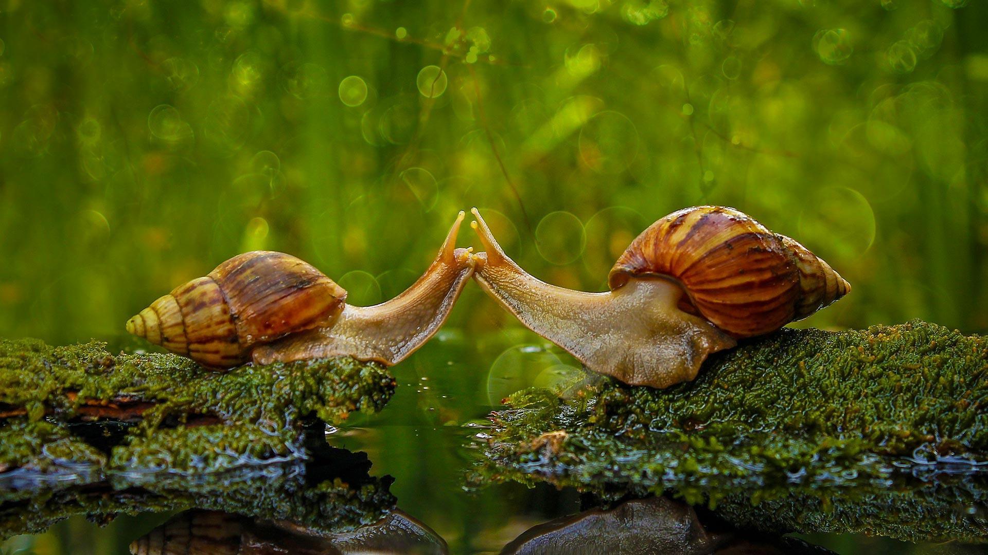 Обои улитки, поцелуй, макро