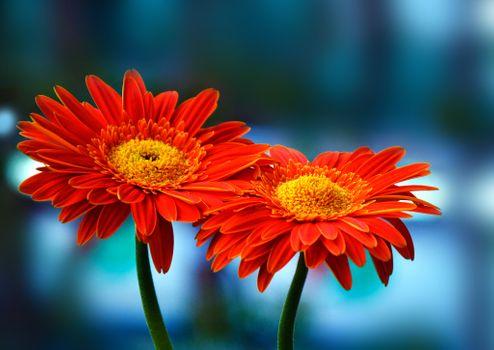 Фото бесплатно герберы, цветы, макро
