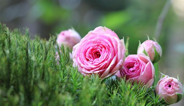 Photo free pink roses, grass, buds