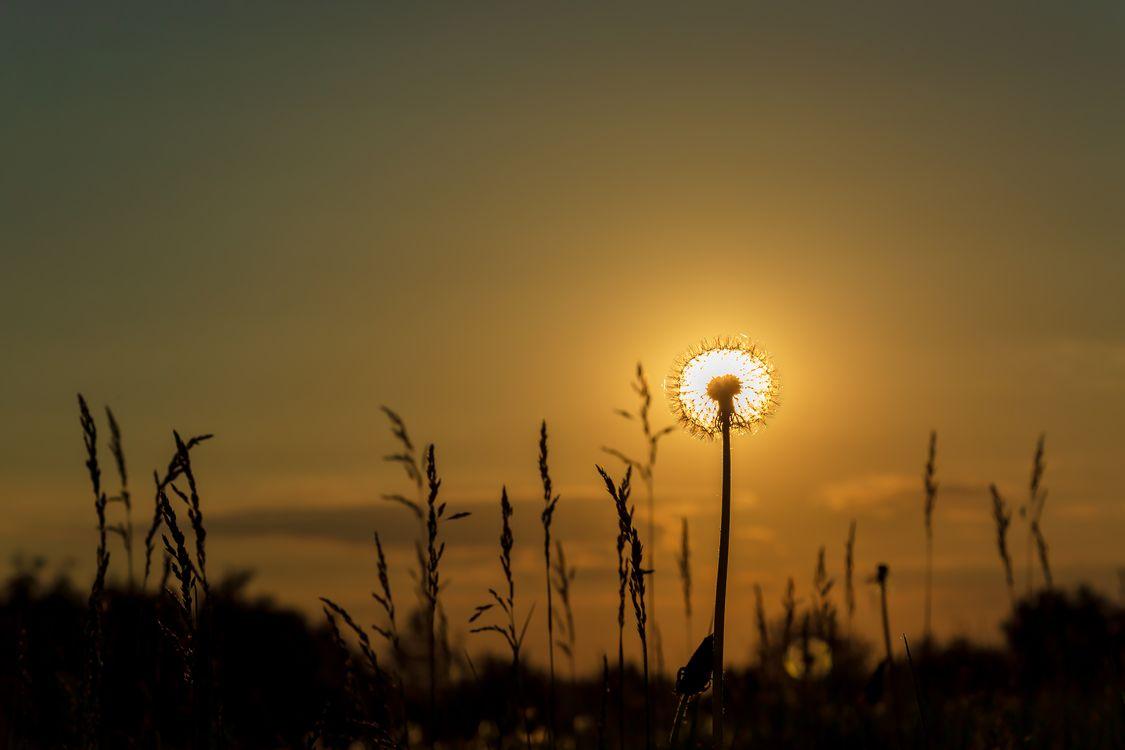 Одуванчик Солнечный · бесплатное фото
