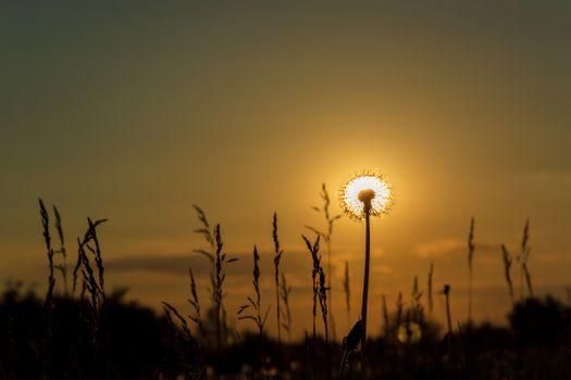 Одуванчик Солнечный
