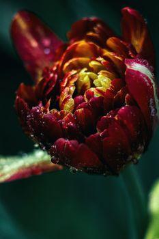 Photo free tulip, drops, macro
