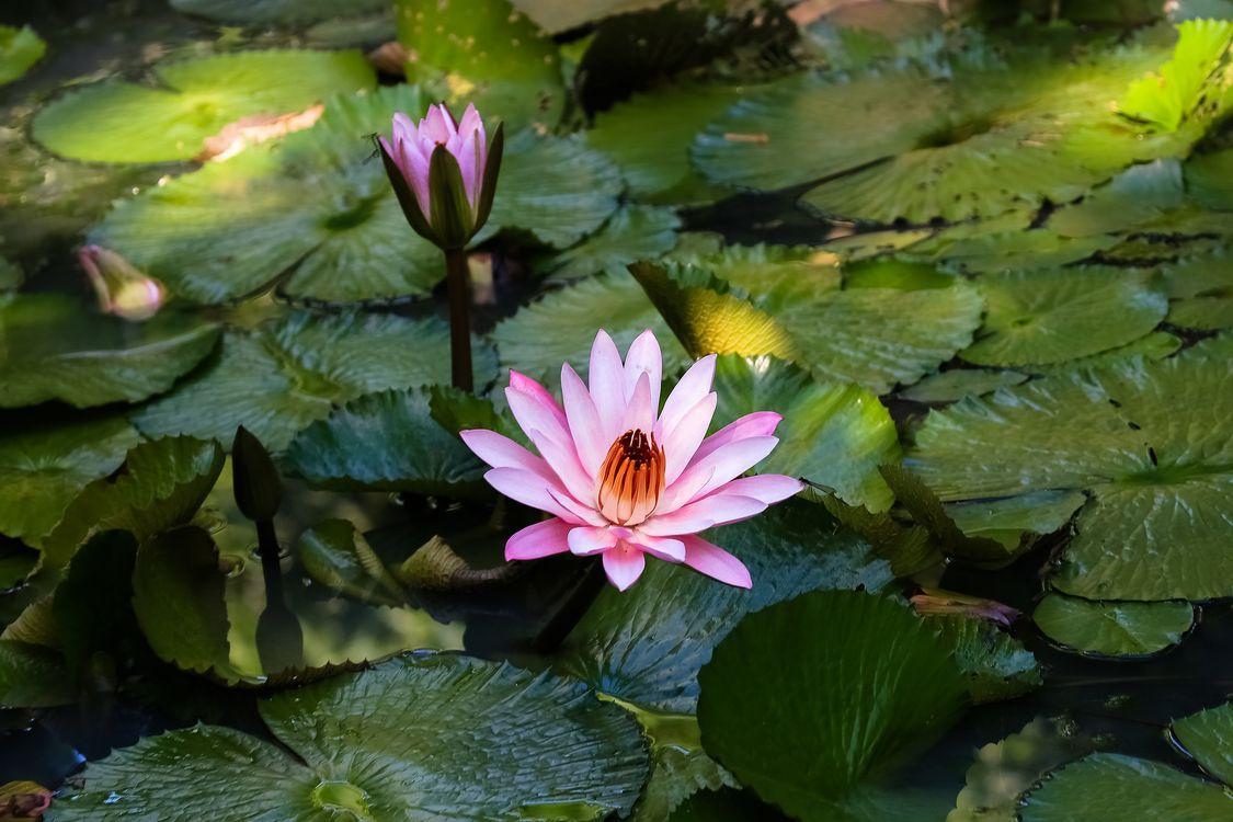 Обои Water Lilies, водяная лилия, водяные лилии, водоём, цветы, цветок, флора, водяная красавица, красивый цветок, красивые цветы на телефон | картинки цветы - скачать