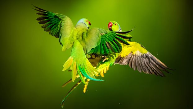 Заставки Rose Ringed Parrots, попугаи, зелёный фон