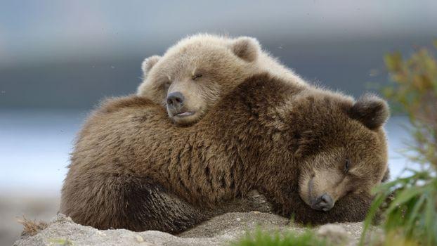 Photo free bear family, cub, cute